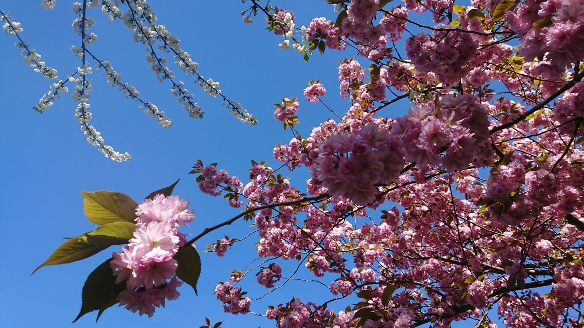 Prunus bloem in bloei - Traan en een Lach