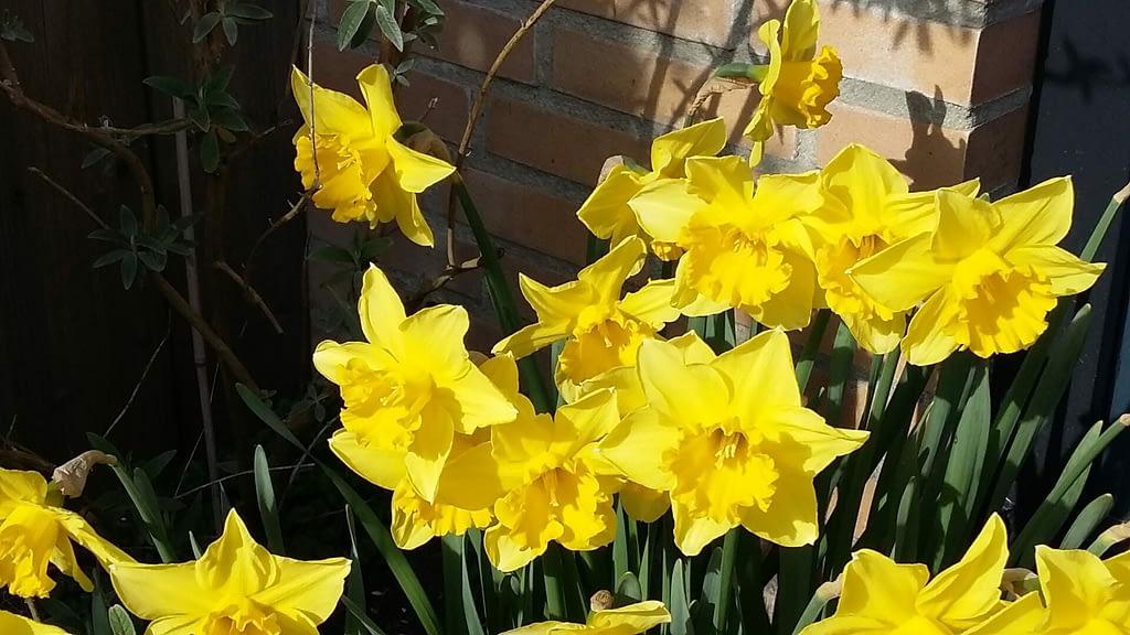 Narcissen in de tuin - de bloem van mams - Traan en een Lach